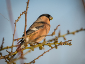 Bullfinch,female
