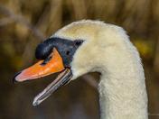 Strumpshaw Swans