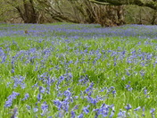 Soon See A Carpet Of Bluebells Again