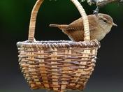 Jenny Wren in the basket.