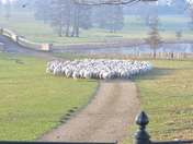 Sheep at Heveningham Hall Suffolk
