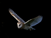 Barn owl  Possibilities