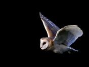 Barn owl mid flight