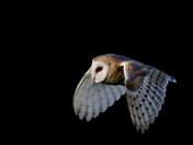 Barn owl still cruising