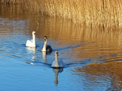 Graceful Swans In The Sun