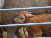 Lambing Weekend at Easton College
