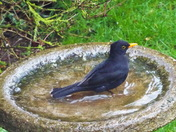 profile of a blackbird after a bath