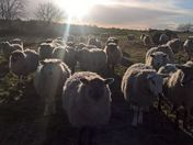 A Flock Of Sheep At Tuddenham