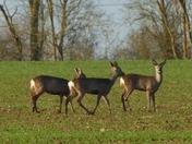 Trio of Roe deer on the field.
