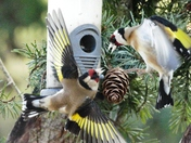 Goldfinches fight in flight.