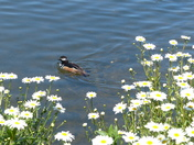 Daisy's And Duck