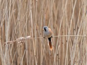 In the Reed Beds today.