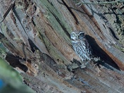 Early Morning Little Owl