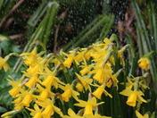 Water: Daffodil Shower