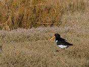 More Oystercatchers.