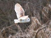 Barn Owl Hunting in the Sunshine