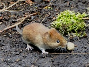 Vole plays Volley ball.