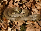 Grass snake warms up in the morning sun.