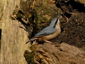 Nuthatch at Lackford lake.