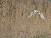 Barn Owl on the Hunt.
