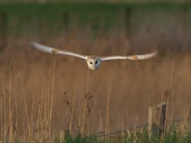 Barn Owl Head-On