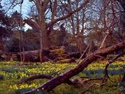 Carpet of Yellow Daffodils