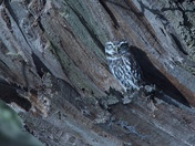 Little Owl in the Shadows.