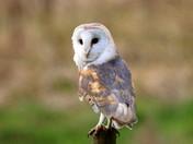 Lots more Barn Owls