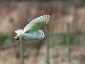 Lots more Barn Owls