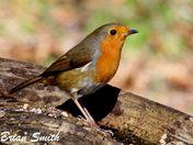 Robin at Lackford.