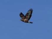 Buzzard flies high in the sky over Woolpit.