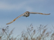 Close Encounter with a Barn Owl.