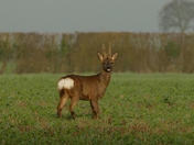 Young Roe deer stag.