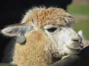 Alpaca in Hainault Country Park
