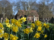 More Daffs in Lowestoft Cemetery