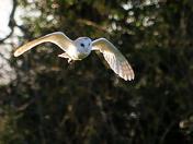 Hunting Barn Owl
