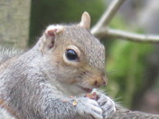Squirrel with one ear