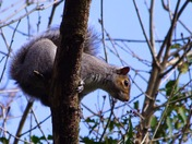 Angry grey squirrel!