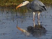 Grey Heron with Newt