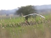 Barn Owl the Silent Hunter