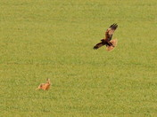 'Hare Raising Fight' Part 1 of 2 Parts