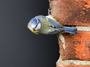 A Blue Tit on the shed wall