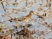 1.Kingfisher strumshaw Fen. 2 Snipe Strumshaw.3 Chaffinch Minsmere 4 Buzzard