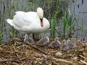 Swan and her cygnets.
