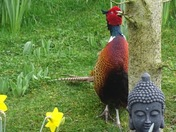 The handsome pheasant...