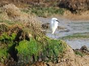 Resting Egret at Walberswick