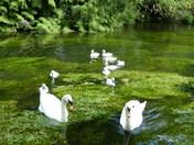Family. Swans