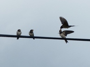 Family. Swallows Being Fed