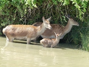 Family. Deer In The Lake Cooling Off