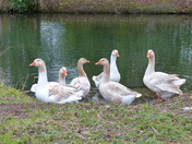 Family. Geese